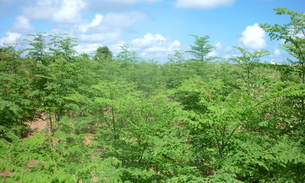 世界一栄養価の高い「奇跡の植物モリンガ」とは