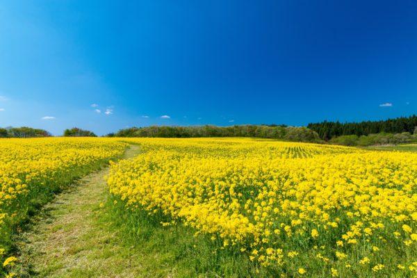 菜の花の栄養と健康効果とは?春の生命力あふれる菜の花パワー