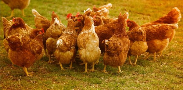 世界は平飼いが主流!ニワトリと人間の健康のために考えたい卵の選び方