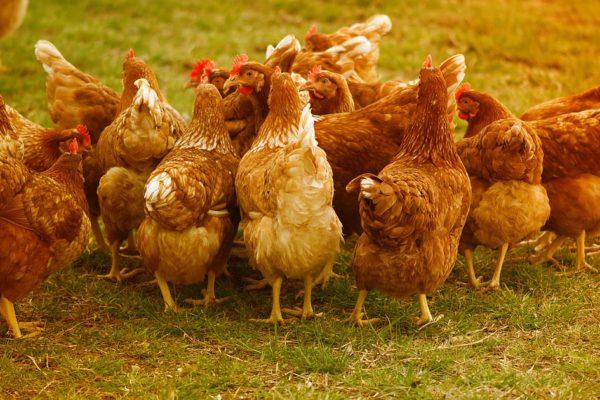 世界は平飼いが主流!ニワトリと健康のために考えたい卵の選び方