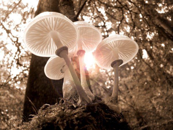 きのこ類がほかの植物よりも放射線物質を蓄積しやすいのはなぜ?