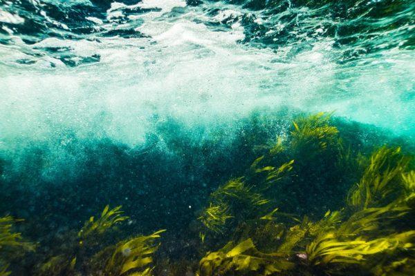 健康にも美容にも注目の海藻ブラダーラック(ヒバマタ)とは