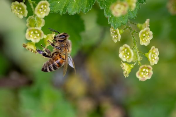 ミツバチがいなくなると食糧危機に?私たちにできること
